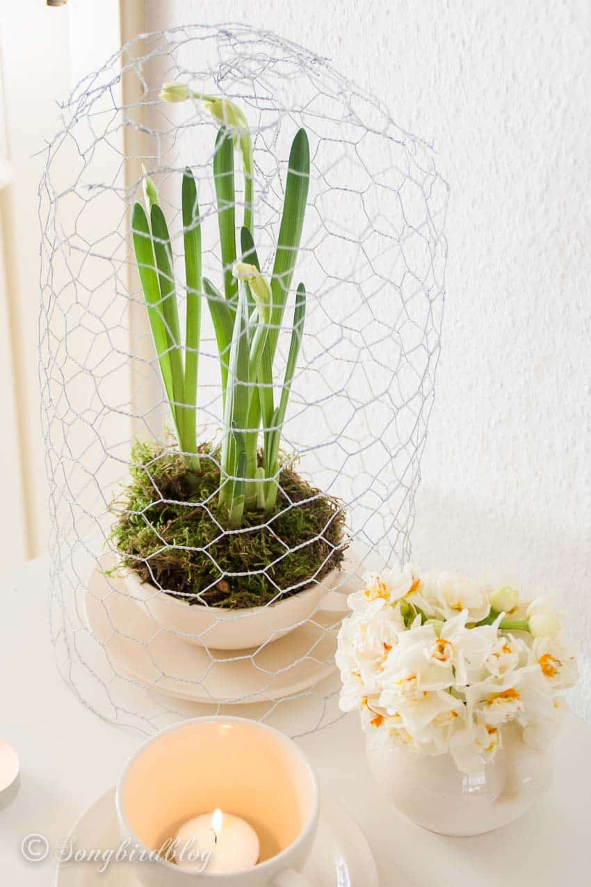 Hyacinths under a cloche made from chicken wire