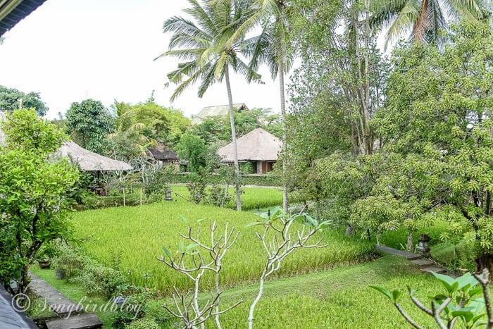 Holiday in Bali. Ubud village. Rice paddy resort