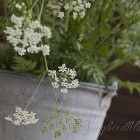 Cow Parsley in galvanized bucket