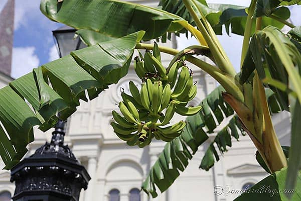bananas growing in New Orleans