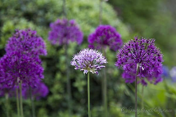 blooming alliums via Songbirdblog