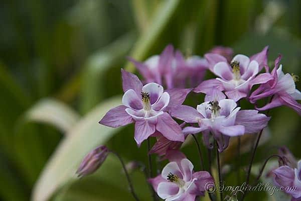 blooming aquilegia akelei columbine via songbirdblog