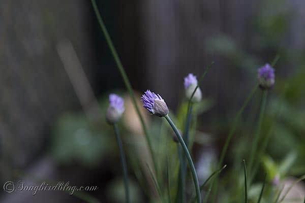 blooming chives via songbirdblog