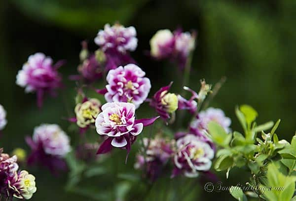 blooming pink aquilegia akelei columbine via songbirdblog