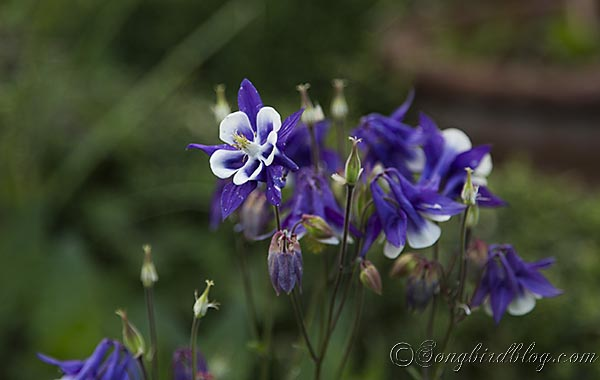 blooming purple aquilegia akelei columbine via songbirdblog