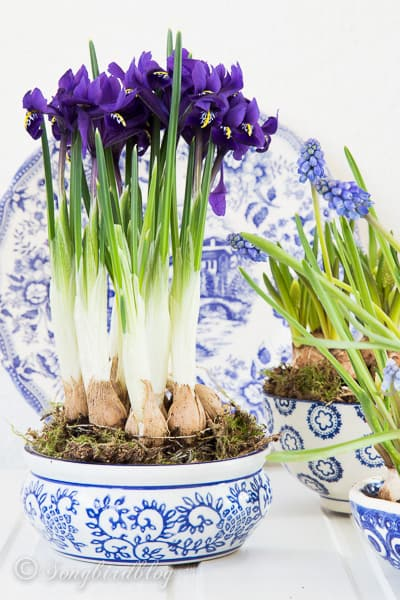 Blue chinaware with flowering bulbs