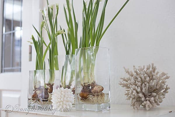 daffodil bulbs on water decor