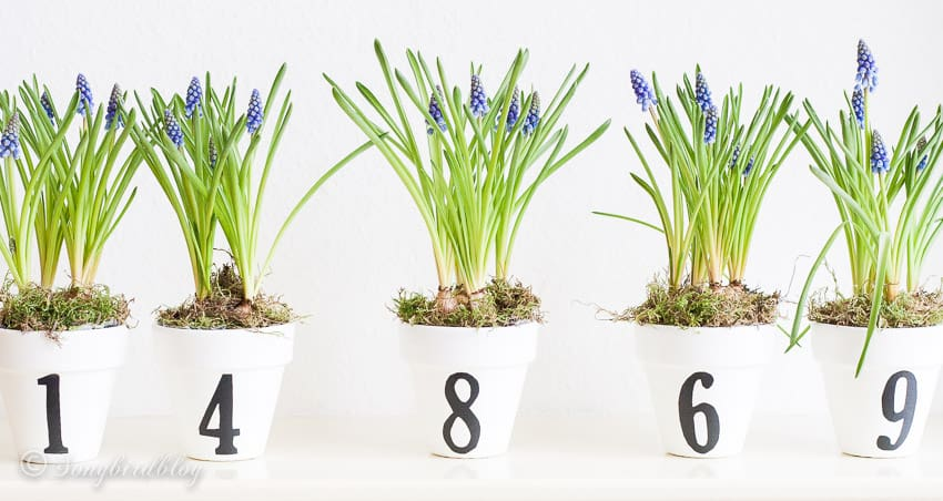 white pots with numbers and grape hyacinths in a line