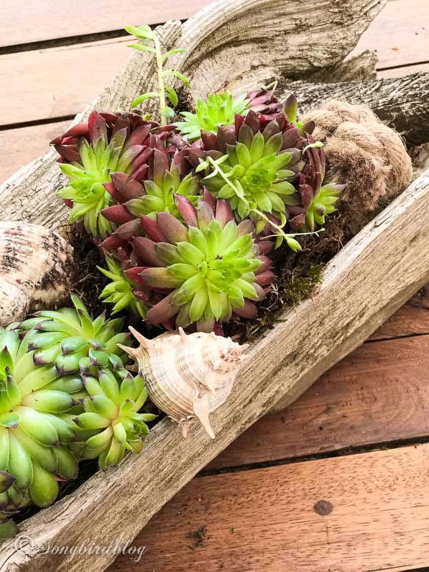 DIY Succulent Centerpiece Driftwood