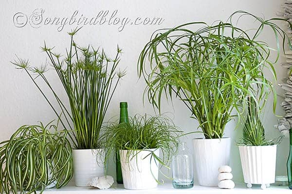 The green green grass of home songbird - Easy indoor plant ...