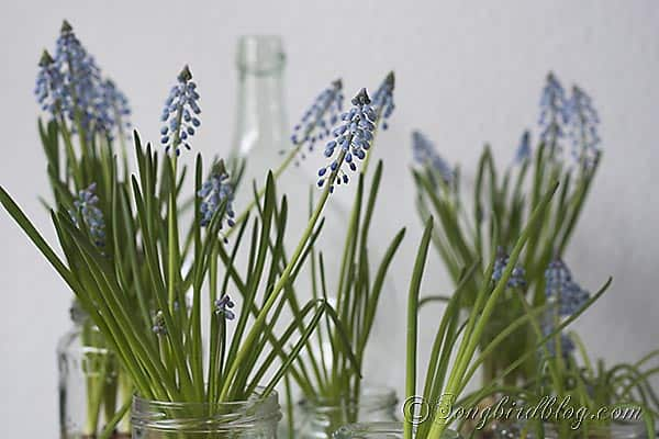 So simple, so effective for bringing Spring indoors:  decorating with grape hyacinths on water. Via http://www.songbirdblog.com