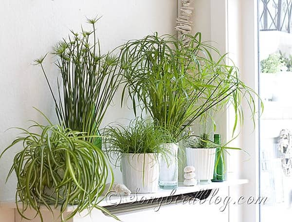 The green green grass of home songbird - Plants used for decoration ...