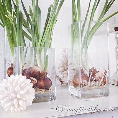 paperwhite bulbs on water in glass containers