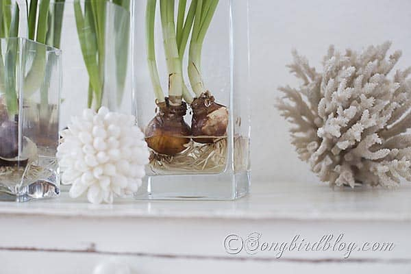 paperwhite daffodil decor glass container