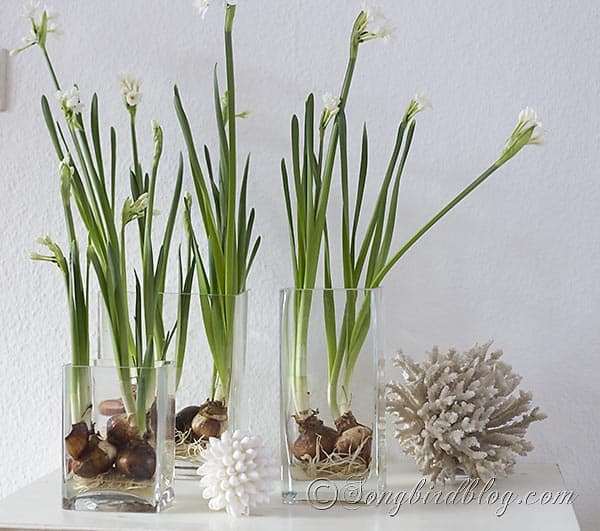 paperwhite daffodils bulbs in glass containers decoration