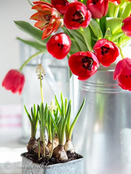 Farmhouse Spring decoration with red tulips in a galvanized can. A perfect colorful Spring decoration.