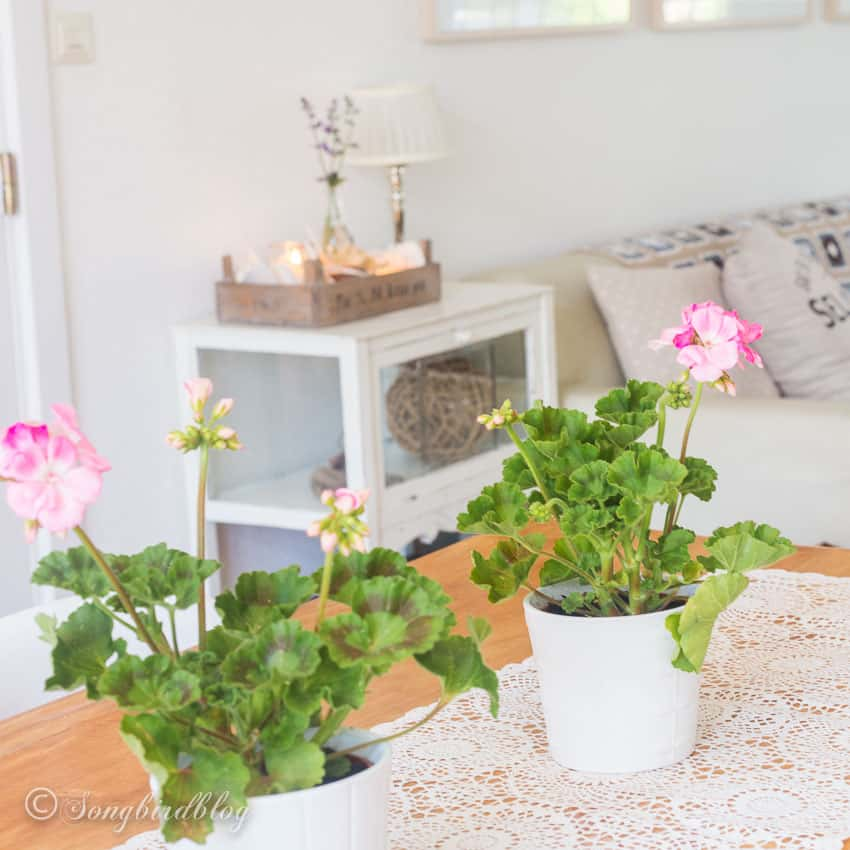 Pink Pelargoniums on living room table