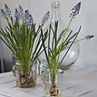 thumb grape hyacinths indoors decoration 5