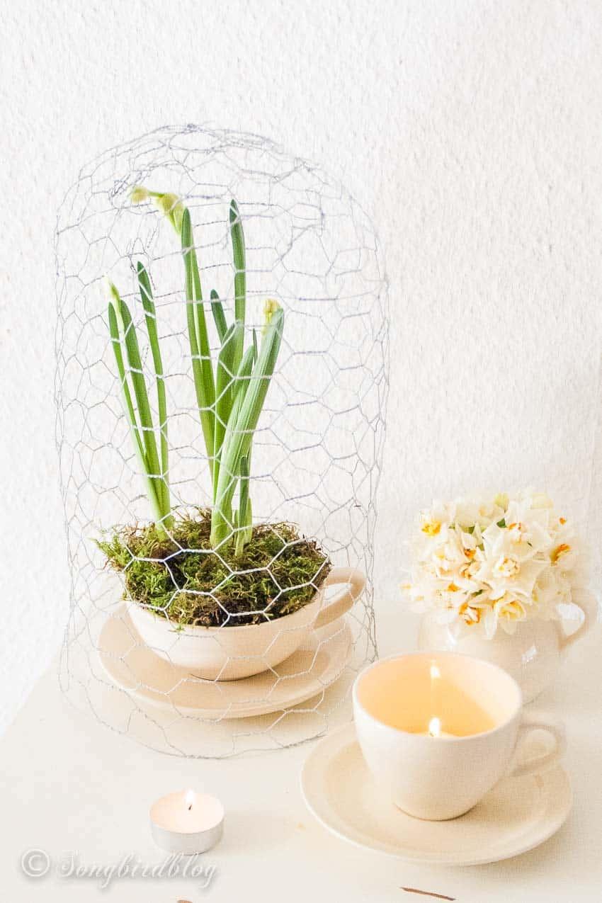 Daffodils under a chicken wire cloche