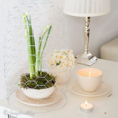 wire cloche over flowering bulbs